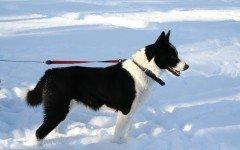 Razze cani: il cane Karjalan karhukoira carattere