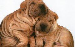 Infezioni delle pieghe cutanee del cane: le cause e la diagnosi