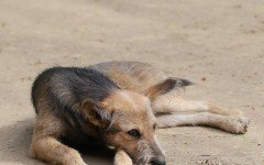 Rogna rossa nel cane, ecco come riconoscere un cane infetto