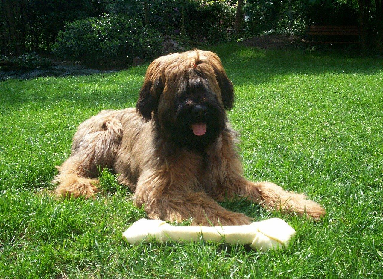 Razze cane: il cane Pastore delle Brie carattere e prezzo