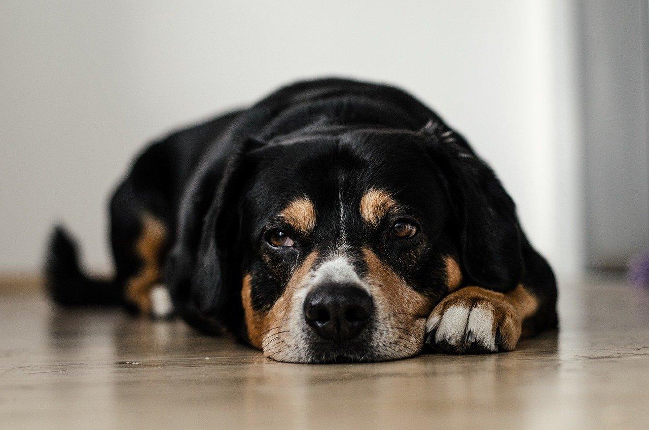 Cushing cane: le cause e le cure della malattia
