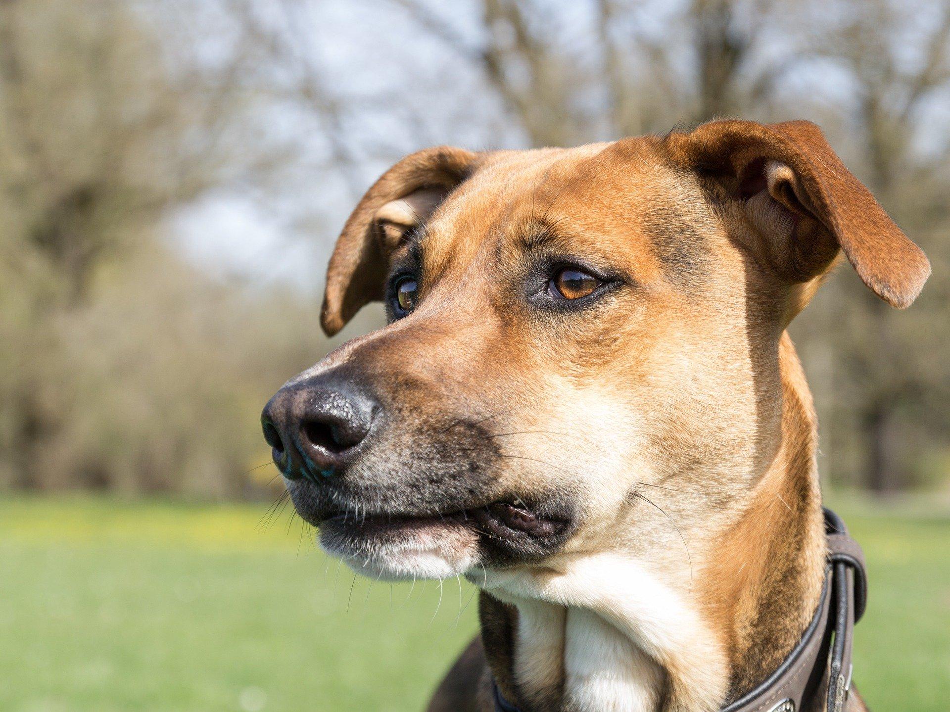 Le otiti batteriche dei cani le cause e i sintomi che le provocano
