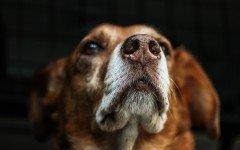 Le principali malattie del naso del cane: infezioni e dermatite