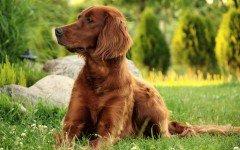 Razze cani: il cane Setter Irlandese carattere e prezzo