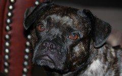 La piodermite del cane che cos'è, i sintomi e i rischi dell'infezione