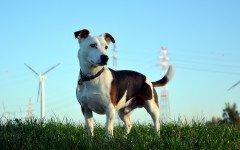 Razze cani: il cane Jack Russell Terrier carattere e prezzo