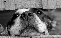 Anaplasmosi nel cane da cosa è causata, i sintomi