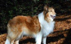 Razze cani: il cane Pastore Scozzese caratteristiche e prezzo