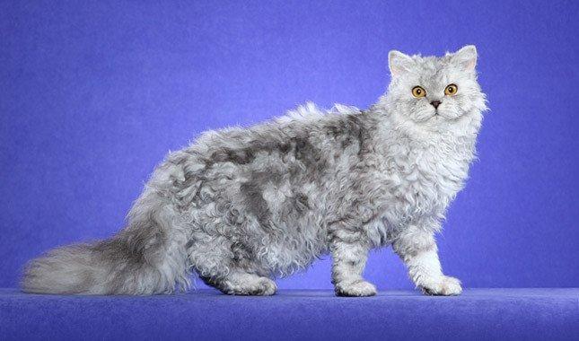 gatto Selkirk Rex razze di gatti