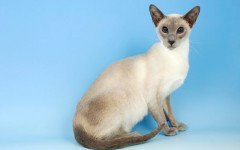 gatto siamese razze gatti