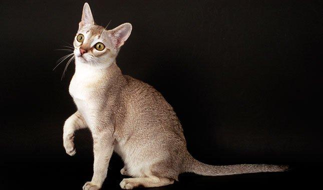 il gatto Singapura razze gatti