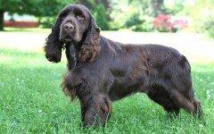 Field Spaniel carattere cane Field Spaniel razze cani