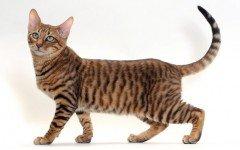 gatto Toyger razze gatti