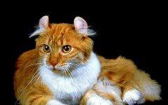 razze feline Il gatto American Curl