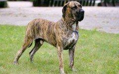 Razze cane: il cane Fila Brasileiro
