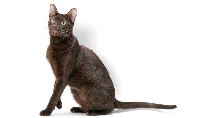 razze di gatti gatto Havana Brown