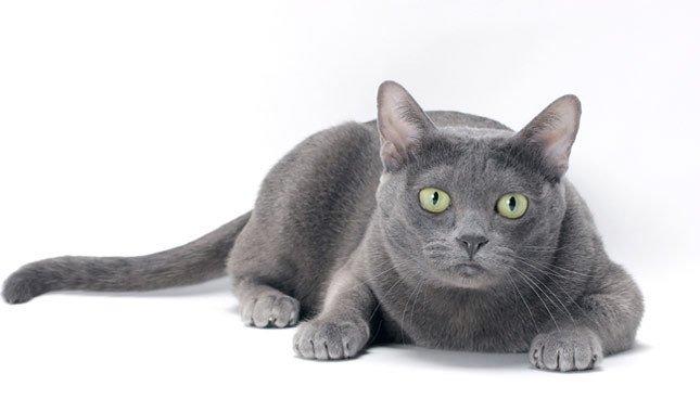 razze di gatti gatto Korat