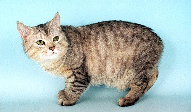 gatto Manx razze di gatti