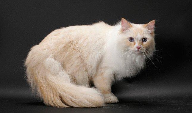 il gatto Ragamuffin razze di gatti