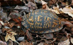 Tartaruga di terra, tartarughe di terra