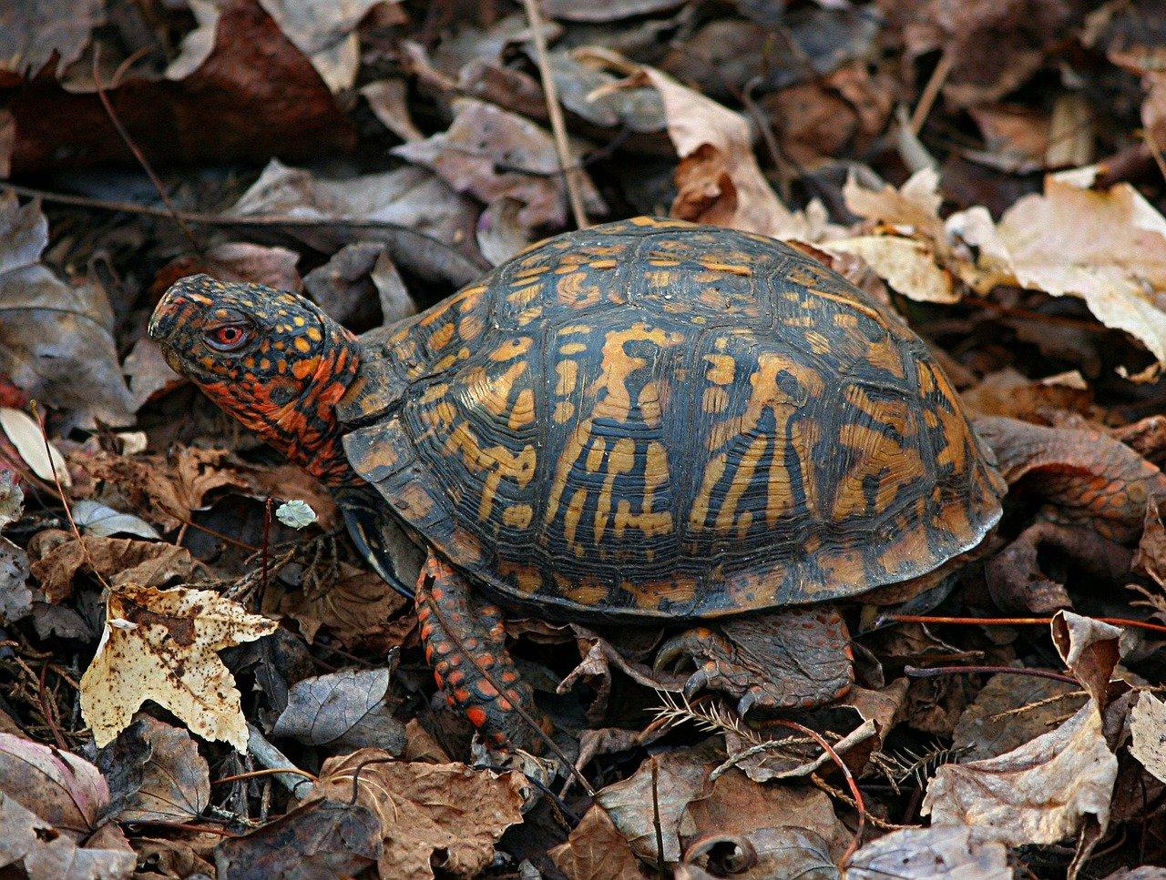 Tartaruga di terra: ecco le sue caratteristiche