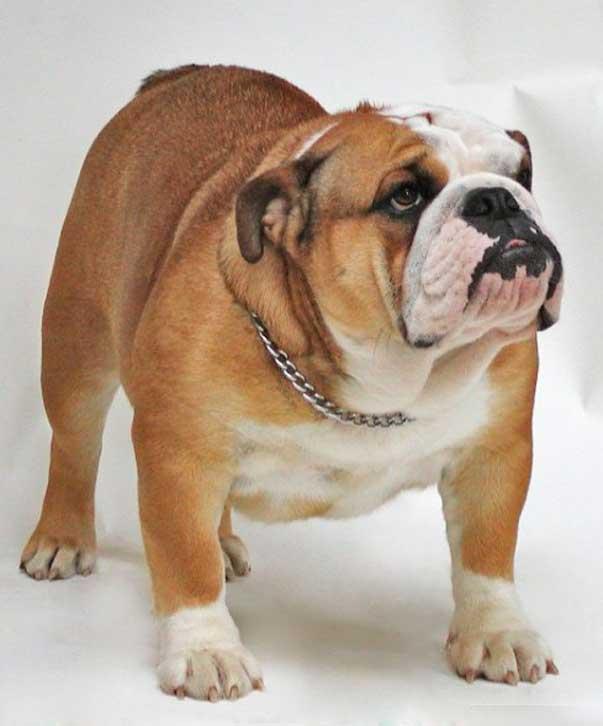 bulldog inglese razze cani