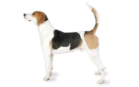 cane English Foxhound razze cani