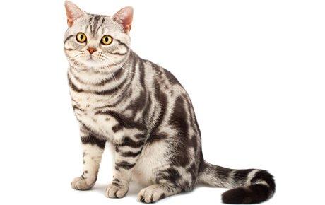 gatto American Shorthair razze feline dogalize
