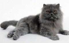 gatto persiano razze di gatti