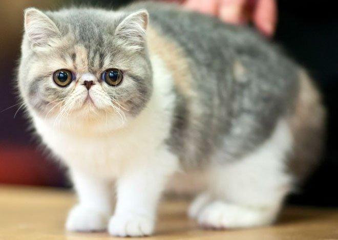 gatto exotic razze di gatti