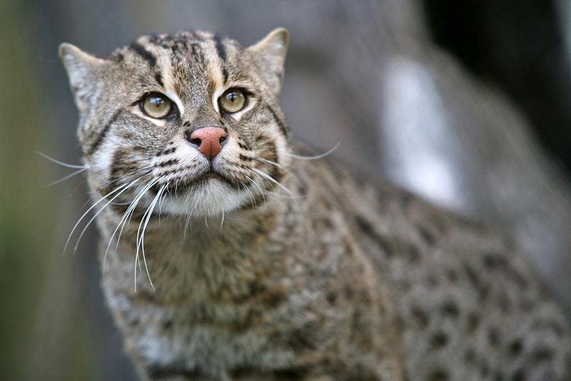 Gatto pescatore gatto dell'isola di Giava