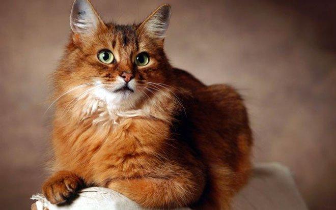 Il gatto Somalo razze gatti