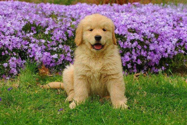 Razas de Perros: Golden Retriever caracteristicas y cuidados