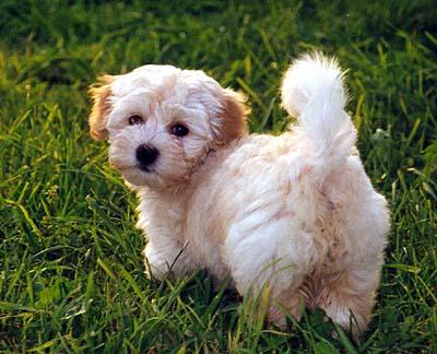Razas de perro: Bichón Habanero