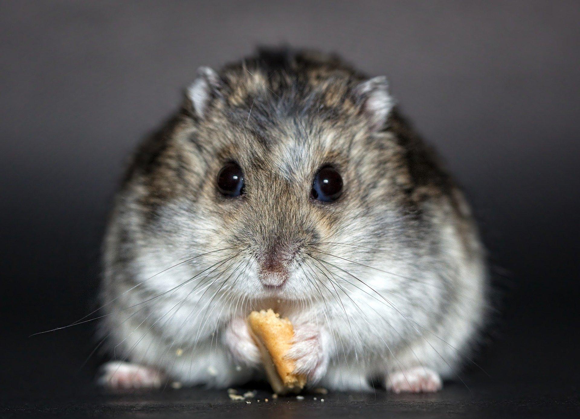 Cosa mangiano i criceti: ecco la loro alimentazione