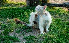 Pulci gatto: la loro individuazione e il trattamento per eliminarle