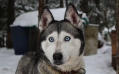 Razas de perros: Huskey siberiano