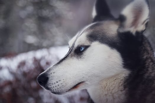 Dog breed: taking care of a Siberian Husky