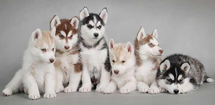 cuccioli Siberian Husky