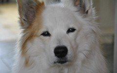 Razze cani: il cane Iceland Dog carattere e caratteristiche