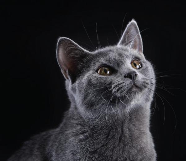 razze di gatto Certosino