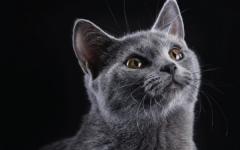 Malattie gatti vomito del gatto vomito nel gatto