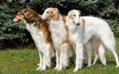 Razze di cani cane Borzoi