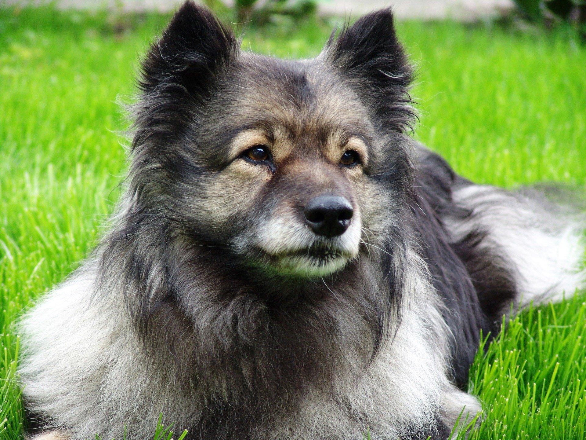cane Keeshond è conosciuto anche come Wolfspitz o Spitz Lupo