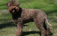 Razze cani: il cane Lagotto Romagnolo carattere e prezzo