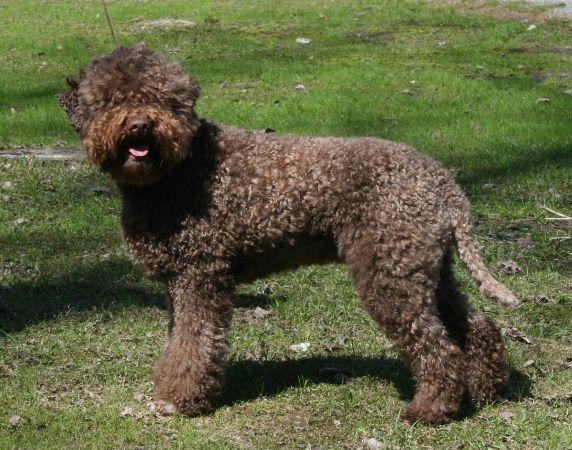 razze cani il cane lagotto romagnolo carattere e prezzo