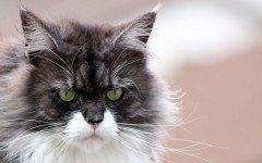 Raffreddore del gatto: sintomi e rimedi