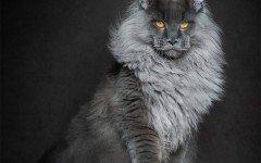 il gatto Maine Coon razze gatti