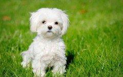 il cane maltese razze cani