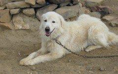 Razze cani: il cane Pastore Maremmano carattere e prez